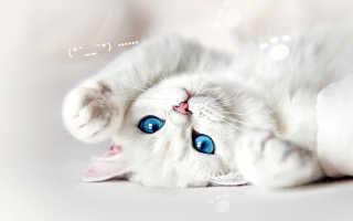 Какое имя можно дать белому котенку. Котенок белый с голубыми глазами. Как назвать белого котенка? Клички для кошек, в зависимости от породы