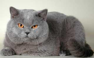 Британец табби полосатый хромает. Особенности внешнего вида и характер британской короткошерстной породы кошек. Более редкие варианты