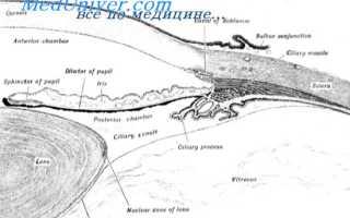 Радиальная мышца радужки. Анатомия глаза. Физиология глаза. Регуляция продукции и оттока водянистой влаги