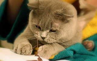 Особенности британских кошек в поведении. Характер британской кошки: английская надменность или ласковая плюшка? Видео — Котята британской длинношерстной